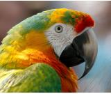 Macau parrot for sale