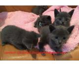 Stunning male and female Russian blue  kitten for sale