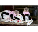 Capuchin monkeys, for sale