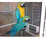 Male Blue and Gold Macaw