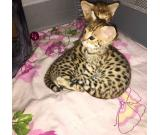 available savannah f1 f2 caracal serval bengal kittens
