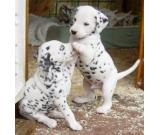 Exceptional Kc Reg Dalmatian Puppies Available