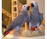 Gentle Hand Raised African Grey Babies