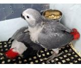 Gorgeous Male And Female African Grey Parrots