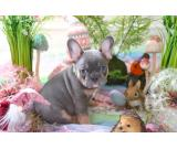We have a fantastic french bulldog litter puppies