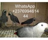 African grey parrots for sale whats-app 00237699461444