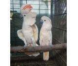 Moluccan cockatoo Parrots for sale whatsapp +237699461444