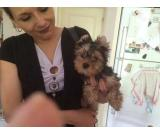Two Beautiful Small Yorkie Puppies for Adoption