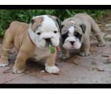 Healthy English Bulldog puppies (FREE)