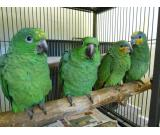 parrots for sale and frtile eggs