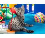 ARIANA - F2 SAVANNAH KITTEN