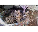 Savannah kitten, caracal kitten and serval kitten available for sale