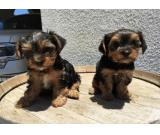 Yorkshire Terrier 'Yorkie' Puppies