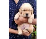 Trust Kennel Offer Golden Retriever Pups Available Here