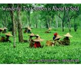 Running Tea Garden is Ready to Sale in North Bengal