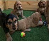 HEALTH TESTED COCKER SPANIEL PUPPIES