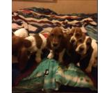 PURE BREED BASSET HOUND PUPPIES FOR SALE