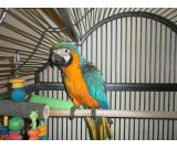 Talkative Beautiful  Blue and Gold Macaw (DNA'd)