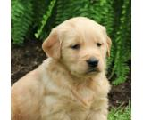 Golden Retriever Puppies whatsapp46700168922