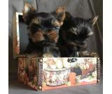 Beautiful yorkie puppies available now