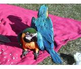 Male and female macaw parrots for adoption