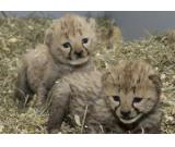 Cheetah Cubs for sale, White Lion Cubs for sale and White Tiger Cubs for sale