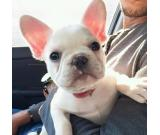 are you interested in french bulldog ?see what we have