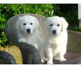 Cuccioli Golden Retriever di prima classe disponibili