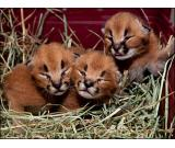Gorgeous Caracal kittens and Cheetah cubs available for sale