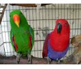 Male and female Solomon Island Eclectus