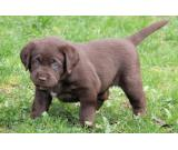 Beautiful black,brown and yellow Pedigree Labrador Puppies