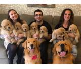 Beautiful Golden Retriever Puppies For Free Adoption