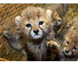 Cute Cheetah cubs for sale