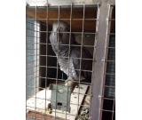 Adorable Proven Pair Of  African Grey Parrots  Ready Now For Sale