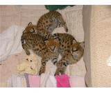 Baby F1 savannahs and African Serval kittens for sale