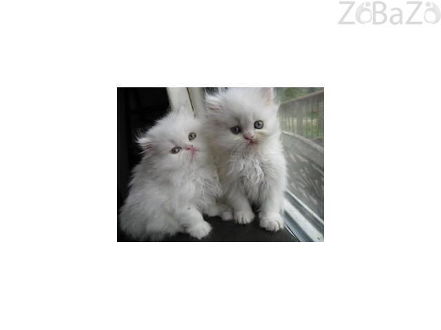Persian Kittens Available for sale kuwait city - Free classifieds