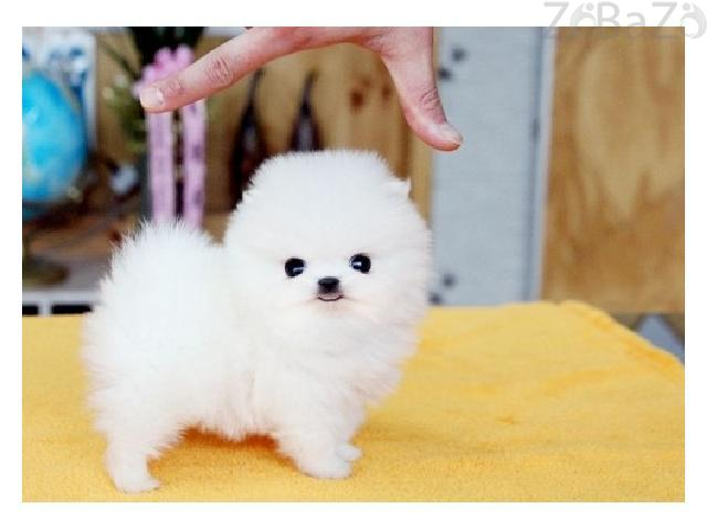 Lovely Pomeranian Puppies for Sale Kuwait city - Free