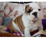 Male and female English Bulldog puppies now available