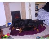 Rottweiler puppies male and female for adoption