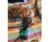 HOME RAISED AND PLAYFUL TIGER CUBS, LION CUBS AND CHEETAH CUBS FOR SALE