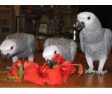Pair of African grey parrots ready for any lovely family