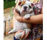 Excellent English Bulldog Male and female puppies ready for new homes