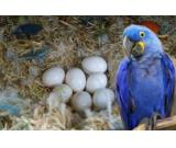 Parrots of various species and their fertile eggs for sale .