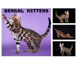 Excliusive Bengal Kittens