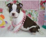 Home trained Male and Female Boston Terrier puppies for adoption