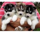 Pure Bred Full Pedigree Siberian Husky Puppies for sell