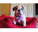 Male English Bulldog Puppy ((( 12 WKS Old )))