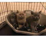 Gccf Cream British Short Hair kittens