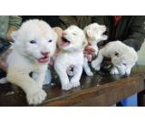 Cheetah Cubs, Lion Cubs ,Tiger Cubs for sale