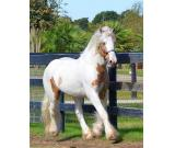 Disciplined Trail Gypsy Vanner Horse For Sale